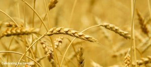 wheat 950 425 text2